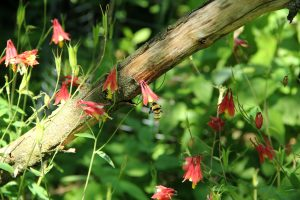 Eastern red columbine plant with bumble bee