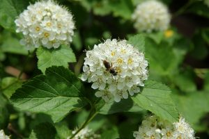 Ninebark blossoms with bee