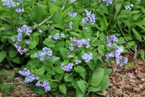 Virginia bluebell plant