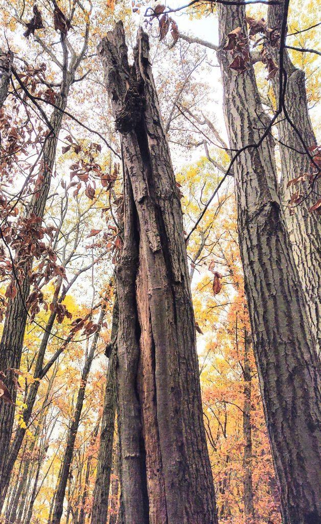 photo of headless Red Oak tree