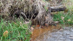 Example of an overhang in stream bank where an animal may make a den