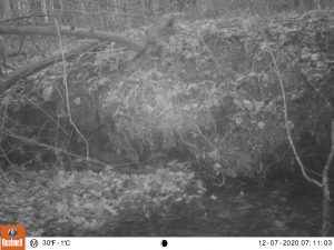 mink caught on trail cam