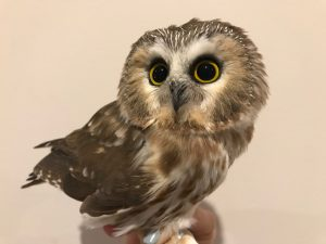 A Northern Saw-Whet Owl perched
